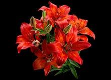 Flor roja de Lilly Imagen de archivo libre de regalías