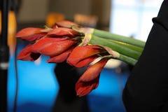 Flor roja de los amarillis Regalo foto de archivo libre de regalías