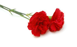 Flor roja de los claveles Foto de archivo