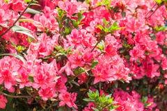 Flor roja de los rododendros Foto de archivo