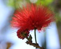Flor roja del árbol del soplo de polvo (haematocephala de Calliandra) Fotos de archivo libres de regalías