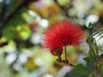 Flor roja del árbol del soplo de polvo (haematocephala de Calliandra) Imagen de archivo libre de regalías