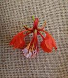 Flor roja del árbol llamativo Imagenes de archivo