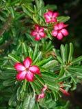 Flor roja del adenium con cierre encima de la visión Fotos de archivo