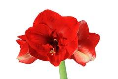 Flor roja del amaryllis Fotografía de archivo libre de regalías