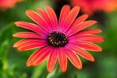 Flor roja del aster imagenes de archivo