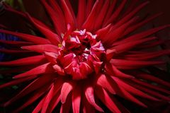flor roja del aster en un primer oscuro del fondo simbolice la CA imagenes de archivo