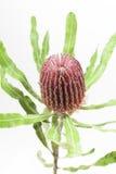 Flor roja del banksia Imágenes de archivo libres de regalías