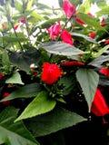 Flor roja del brote por la mañana fotografía de archivo