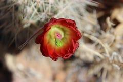 Flor roja del cactus Foto de archivo libre de regalías