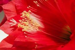 Flor roja del cactus, fondo con el houseplant Imágenes de archivo libres de regalías