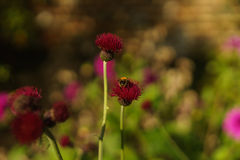 Flor roja del cardo en la floración con la abeja Imagen de archivo