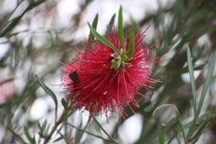 Flor roja del cepillo de botella Foto de archivo libre de regalías