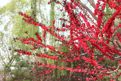 Flor roja del ciruelo Foto de archivo libre de regalías