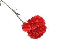 Flor roja del clavel Foto de archivo libre de regalías