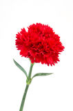 Flor roja del clavel imagen de archivo libre de regalías