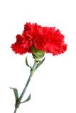 Flor roja del clavel aislada en blanco Foto de archivo