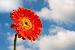 Flor roja del crisantemo Foto de archivo libre de regalías