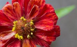 Flor roja del crisantemo en jardín Fotografía de archivo