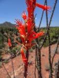 Flor roja del desierto fotografía de archivo