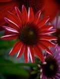 Flor roja del Echinacea Imagen de archivo