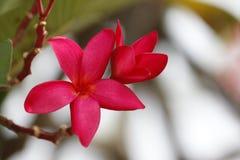 Flor roja del Frangipani en árbol. Fotografía de archivo