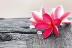 Flor roja del Frangipani en el bosque viejo. Foto de archivo libre de regalías