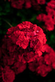 Flor roja del geranio Foto de archivo libre de regalías