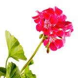 Flor roja del geranio, cierre para arriba foto de archivo
