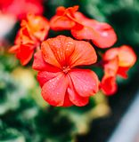 Flor roja del geranio con las pequeñas gotitas de agua foto de archivo libre de regalías