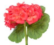Flor roja del geranio imagen de archivo
