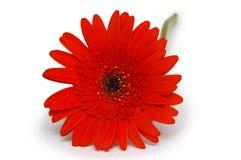 Flor roja del gerbera. en blanco Fotografía de archivo libre de regalías