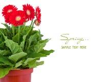 Flor roja del gerbera en crisol fotos de archivo libres de regalías