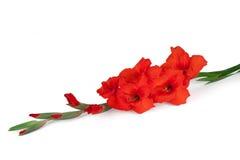 Flor roja del gladiolo Imagen de archivo