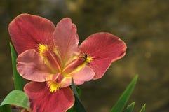 Flor roja del gladiolo del flor Imagenes de archivo