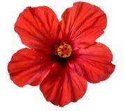 Flor roja del hibisco Fotos de archivo