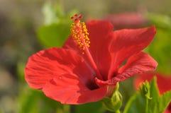 Flor roja del hibisco Foto de archivo