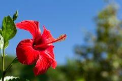 Flor roja del hibisco Foto de archivo libre de regalías