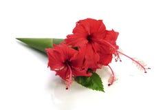 Flor roja del hibisco aislada en el fondo blanco Foto de archivo libre de regalías