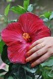 Flor roja del hibisco de Blosson Fotos de archivo libres de regalías