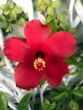 Flor roja del hibisco en el jardín foto de archivo libre de regalías