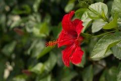 Flor roja del hibisco en jardín Imagen de archivo libre de regalías