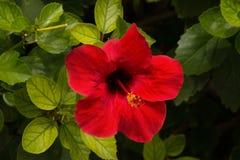 Flor roja del hibisco en jardín Fotos de archivo