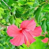 Flor roja del hibisco en un fondo verde Fotografía de archivo