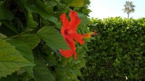 Flor roja del hibisco Planta hermosa en primer almacen de metraje de vídeo