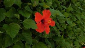 Flor roja del hibisco Planta hermosa en primer almacen de video