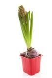 Flor roja del hyacinthus Imagen de archivo