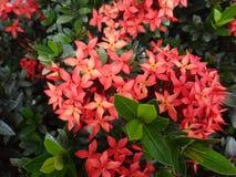Flor roja del ixora en su arbusto Fotografía de archivo
