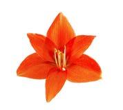 Flor roja del lirio Imagenes de archivo