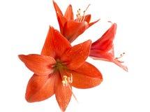 Flor roja del lirio Foto de archivo libre de regalías